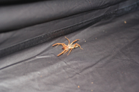 A solfugid in my tent